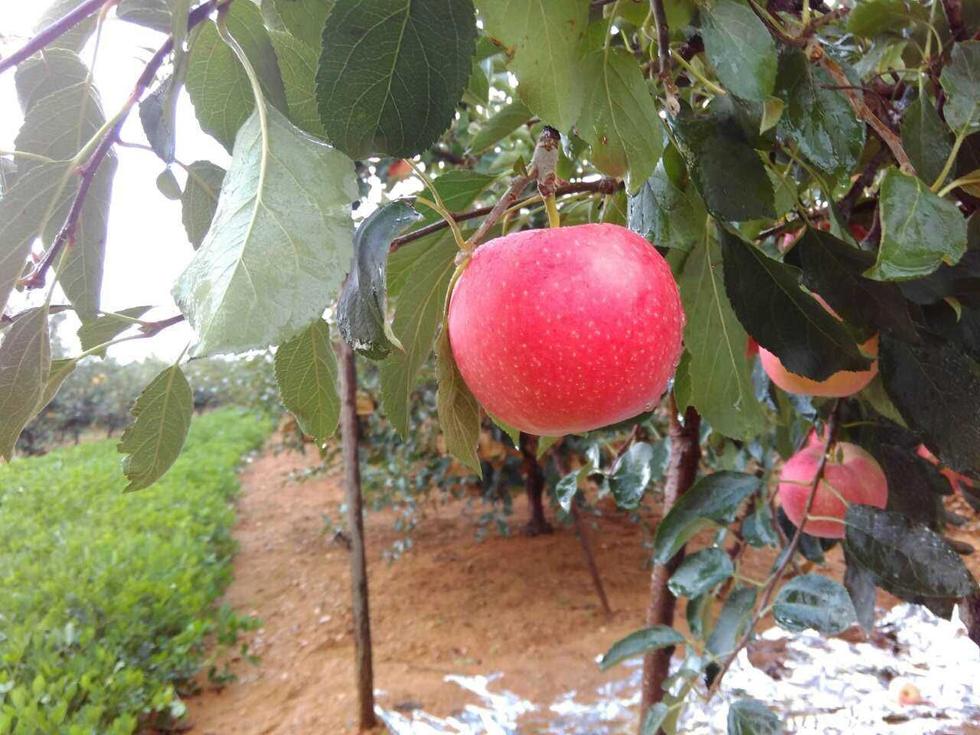 """阿拉肥 山东烟台""""嘎啦""""苹果转色处理"""
