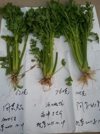 阿尔比特芹菜增产对照
