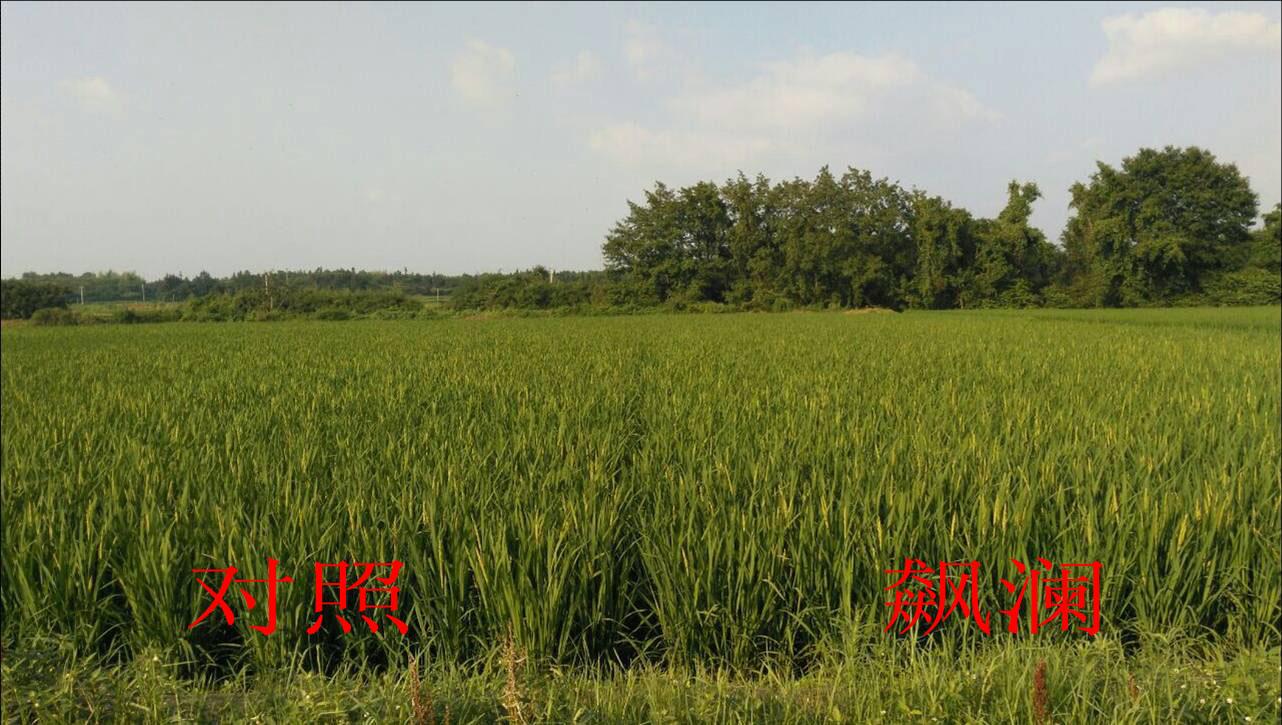 飙澜水稻使用对照