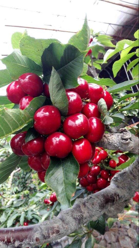阿尔比特樱桃处理